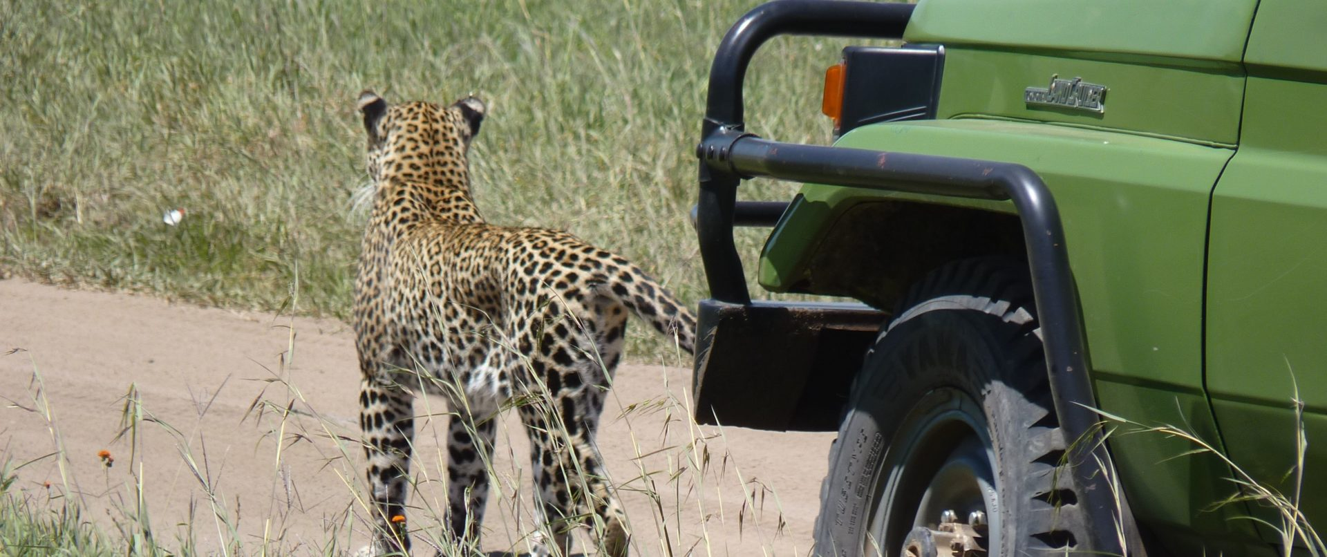 Leopard by jeep in Serengeti