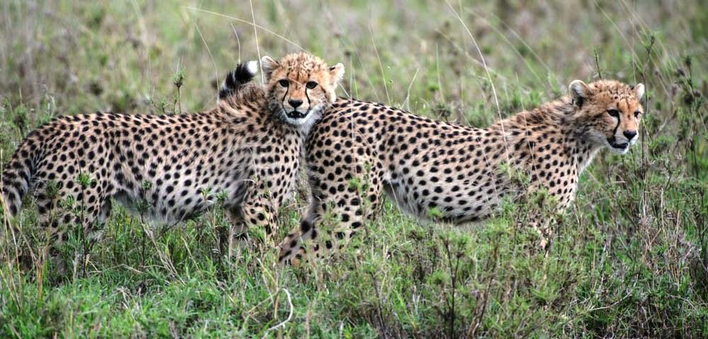 Tanzania Big Five safari cheetahs