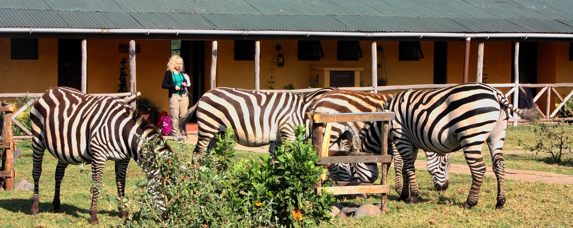 Ngorongoro Rhino Lodge Zebras