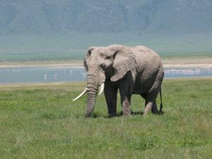 Ngorongoro Crater elephant bull