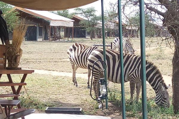 Zebras grazing Bush Camp