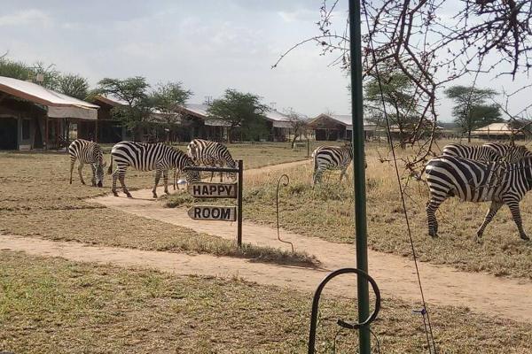 Zebras at Tanzania Bush Camo