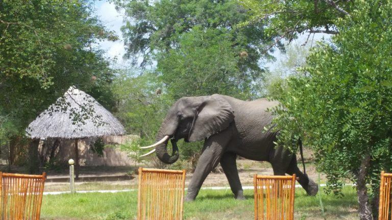Elephant at Africa Safari Camp Selous