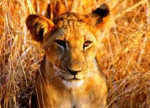 selous_lion