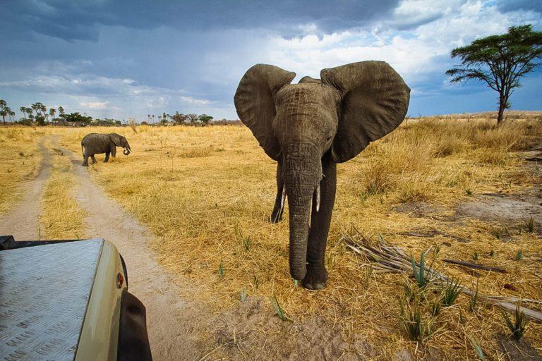 Elephants Ruaha