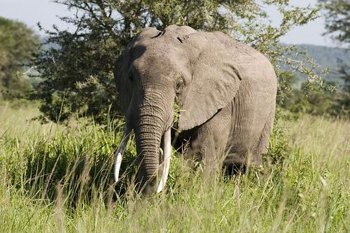 Elephant in Mikumi National Park Tanzania